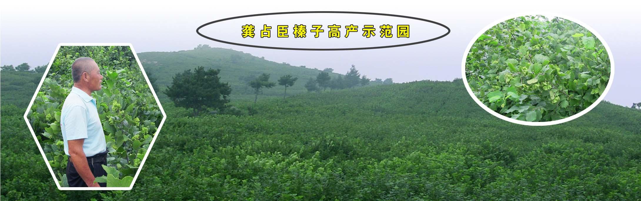 龚占臣通过连续多年的努力,将120亩荒山改造成为丰产榛园。通过实践,他总结出榛林通风和叶片保护理论,实现了在较大面积榛园内连续丰产喜人成绩!他的技术已经应用到清河区杨木林子镇养马大村的550亩榛林,今年产量可达到300斤以上。